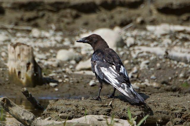 По словам орнитолога, маховые перья начнут линять следующим летом, после чего краска придёт в норму и птица снова станет как все ее сородичи черной