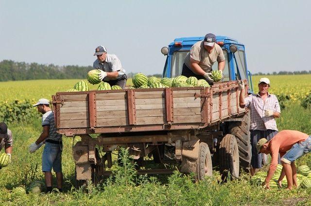 В августе уборка арбузов и дынь в Ростовской области в разгаре.