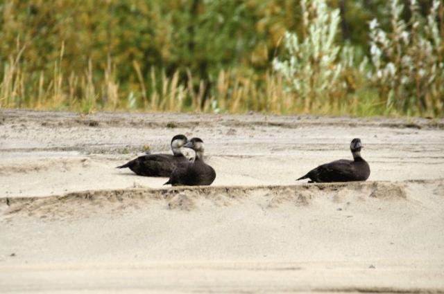 На Ямале открыт сезон осенней охоты на пернатую дичь
