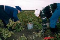 Аграрии региона уже заготовили 272 тонны картофеля.