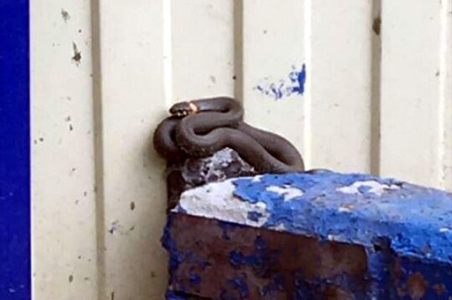 Тюменские змеи заползают в автомобили