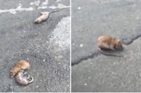 Мертвые и живая крысы на Малахова