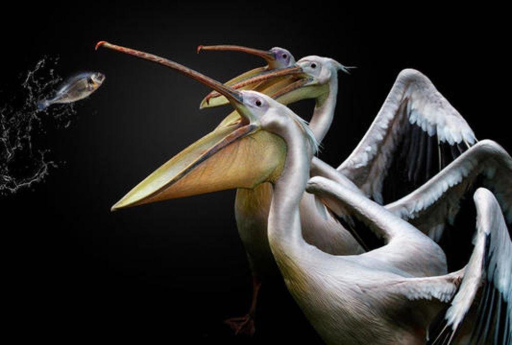 Пеликаны, соревнующиеся за еду.
