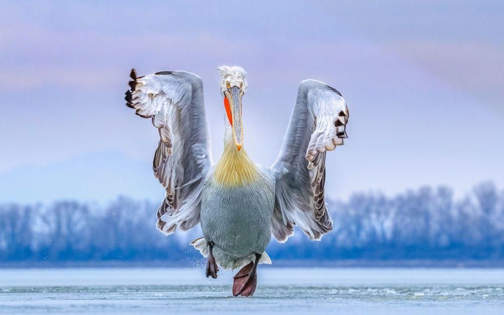 Кудрявый пеликан на озере Керкини в Греции.