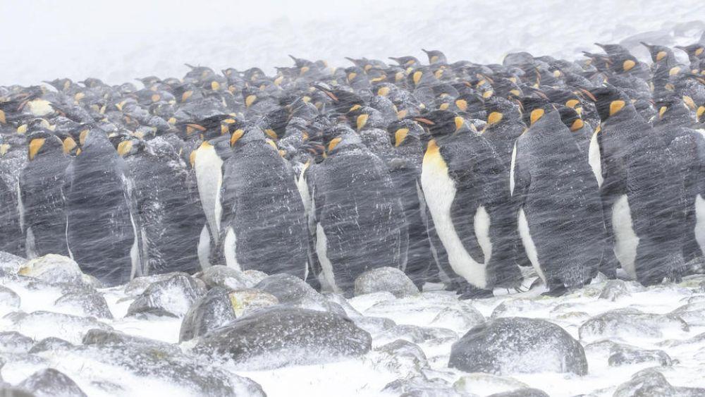 Королевские пингвины собрались вместе, чтобы погреться.