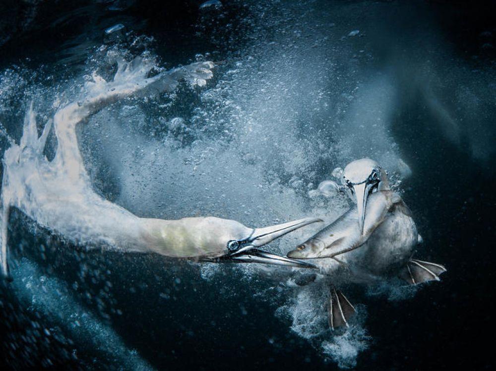 Олуши под водой.