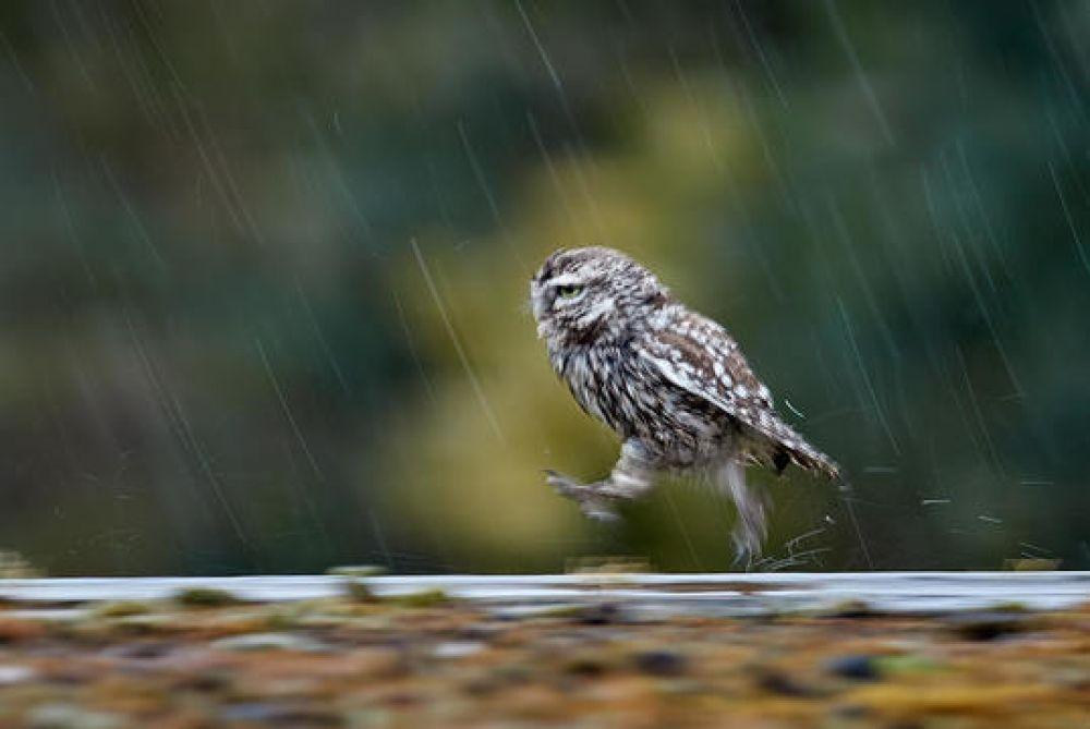 Маленькая сова под дождем.