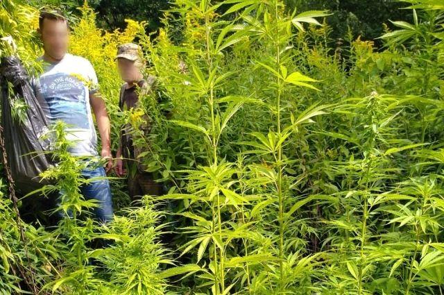 Житель Немана выращивал коноплю в лесополосе за городом
