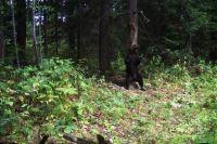 О стволы трутся не только взрослые самцы, но и молодые медведи, причем обоих полов