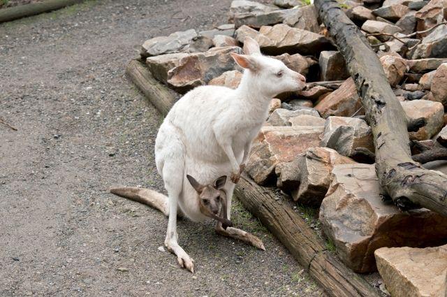 В Сочи родился уникальный белый кенгуру Беннета