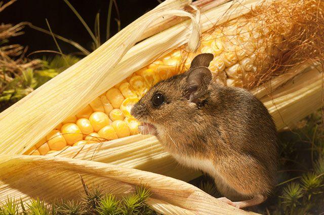Как избавиться от мышей? Проверенные методы борьбы