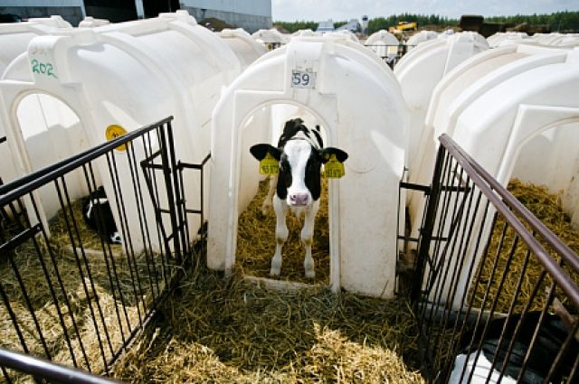 В Северном районе открылся крупнейший в Оренбуржье молочный комплекс