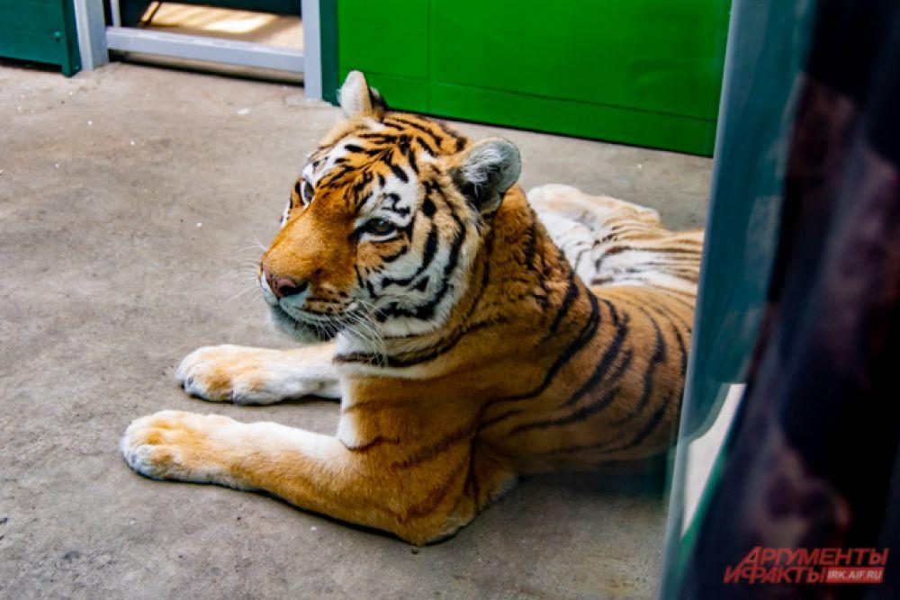 Тигрица Ириска – «дама» в возрасте, ведь ей уже 19 лет. Работникам долго пришлось уговаривать её переехать из привычных стен.