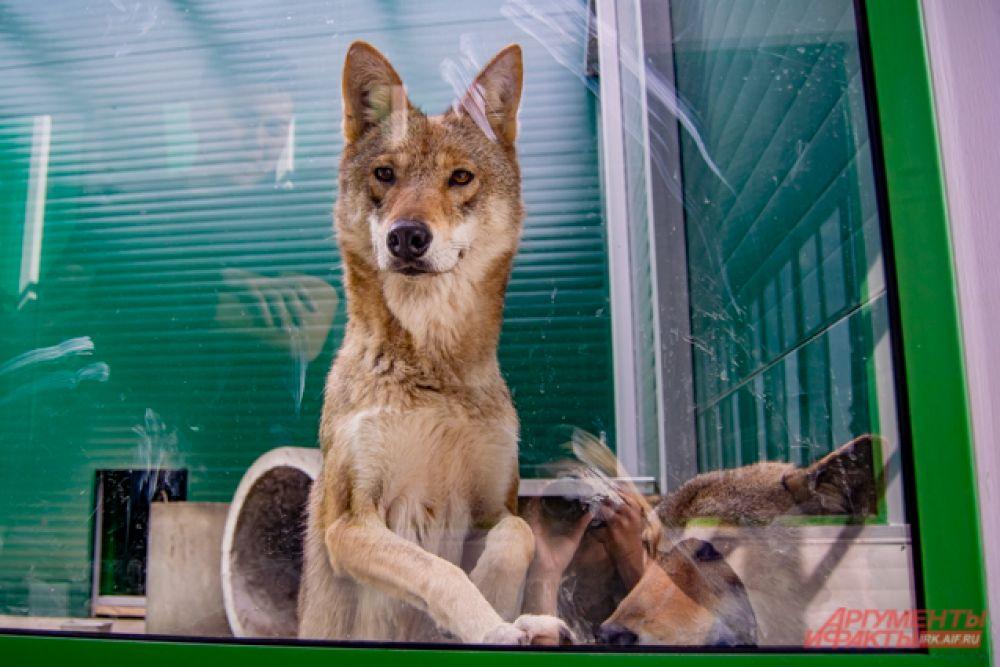 А вот взрослые волки – Рекс, Милка и Канада – посетителей не стесняются.