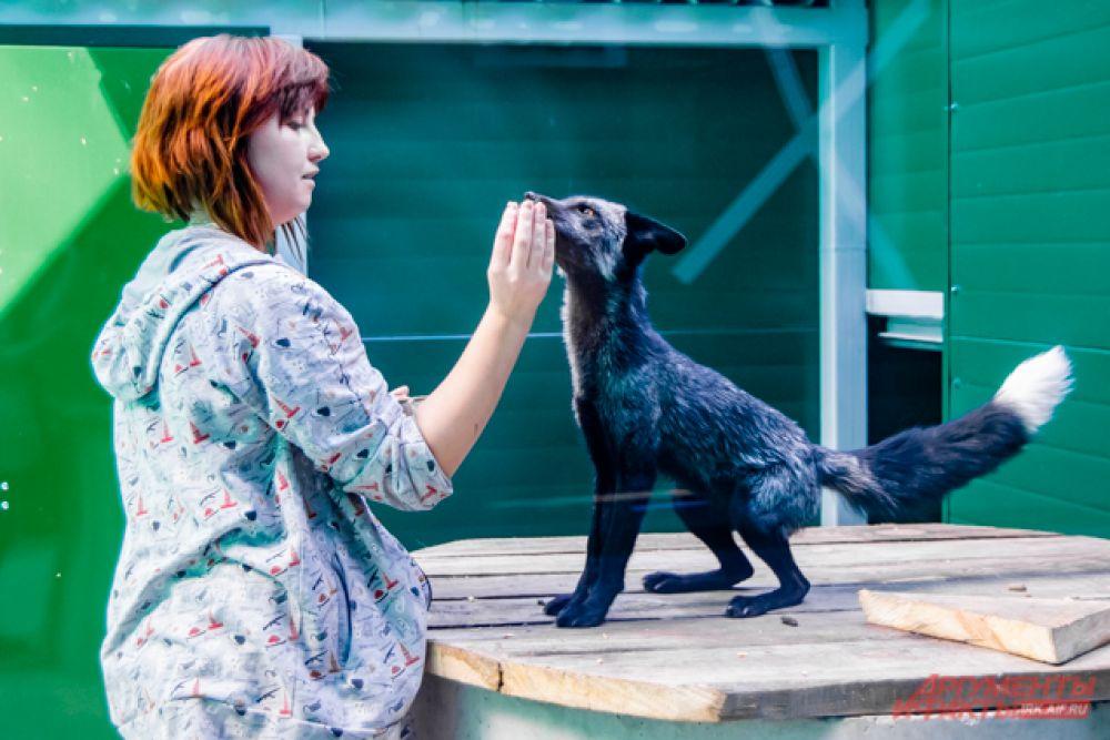 Лисы с удовольствием ели из рук приглядывающей за ними работницы зоопарка.