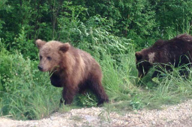 Под Ухтой дачники в садовом товариществе «Водненские дачи» сняли на видео, как медвежата с куста поедают крыжовник и смородину.