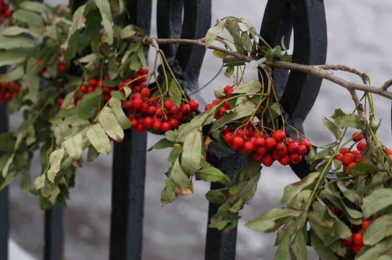 Набережную украсили гроздьями рябины.