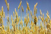 Сегодня успешное сельхозпредприятие ЗАО «Обливскагропромтранс» выращивает зерно на 7000 гектаров.
