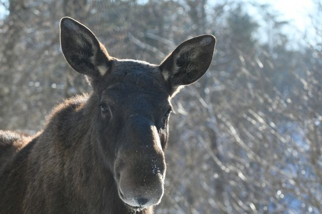 Под Тобольском браконьеры убили двух самок лося