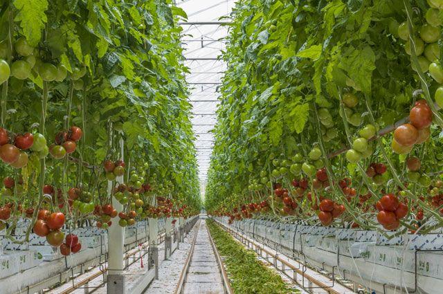 Первый урожай в теплицах комплекса «Солнечный дар» уже вырастили.