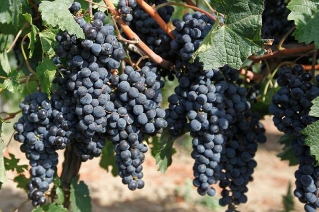 В Калининградскую область не пустили 19 тонн турецкого винограда