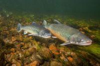 Обь-Иртышский бассейн, действительно, всегда славился своими рыбными ресурсами.
