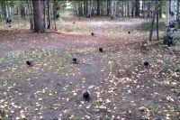 В Ноябрьске голуби «преследуют» горожан