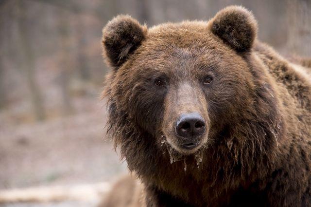В Тюменской области причиной смерти грибника могло стать нападение медведя