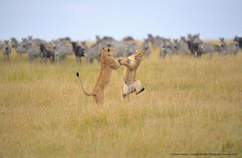 «Хакуна матата! Смысл фразы так прост. Хакуна матата! Веселись в полный рост!» - и львам не чужды танцевальные экзерцисы.