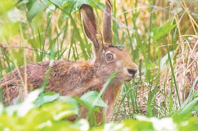 Заяц-русак, обитающий впарке «Северное Тушино», занесён вКрасную книгу Москвы.