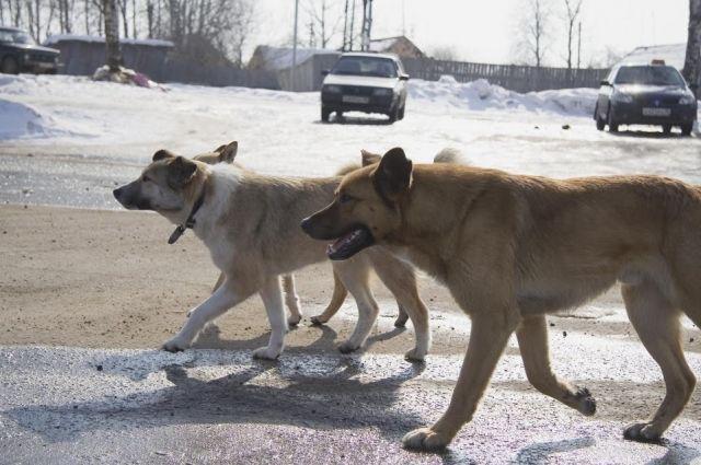 Несколько стай бездомных животных бегает по городу.
