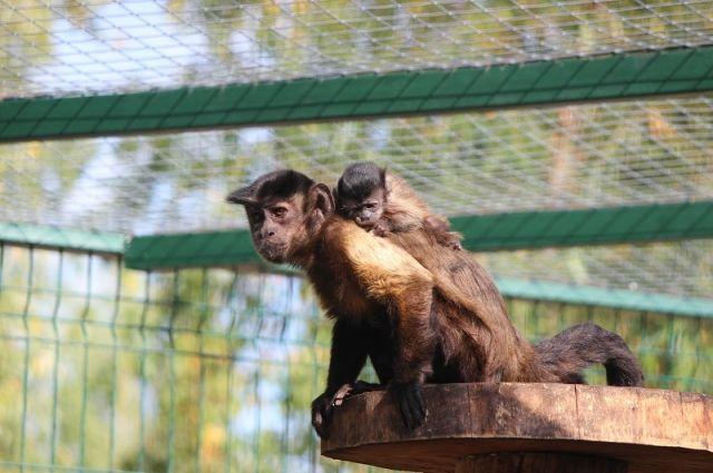 Малыши приматов цепко держатся за маму