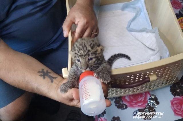 «Эй, не стойте слишком близко, я тигрёнок, а не киска».