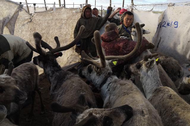 В ЯНАО началась кампания по заготовке оленины