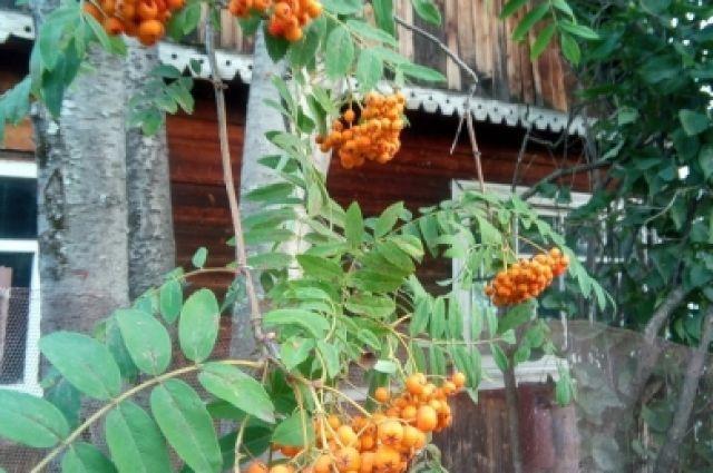 Ягоды рябины для птиц - источник питания и возможность выжить суровой зимой