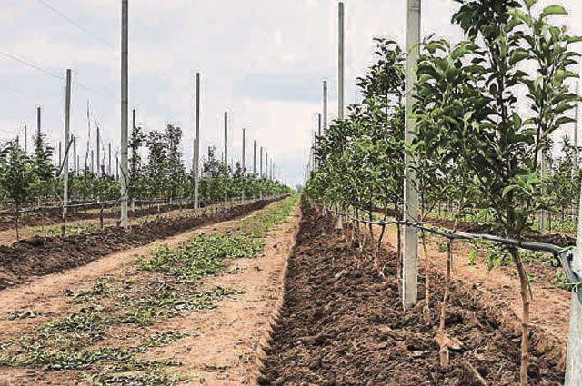 Уже вбудущем году эти молодые деревья «Ставропольской фруктовой долины» должны дать первый урожай, а на ферме Калиновского – появиться первые телята джерсейской породы.