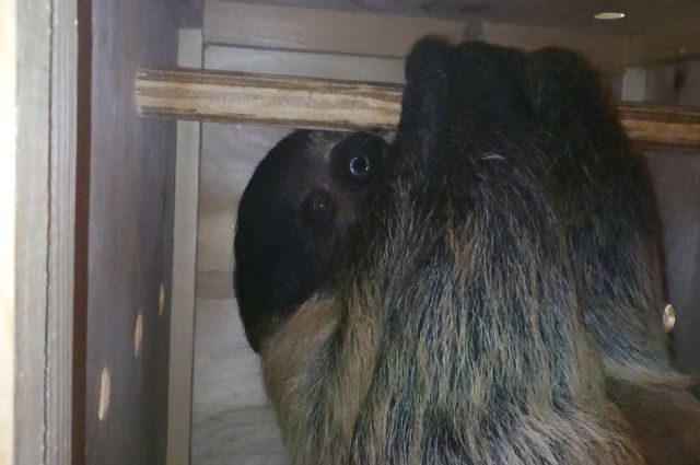 В Калининградский зоопарк привезли двупалого ленивца