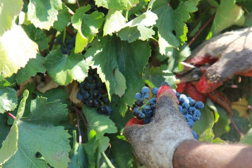 Сорт Красностоп Золотовский считается на Дону самым дорогим, элитным техническим сортом для производства вина. Его трудно собирать, грозди прячутся глубоко в листве.