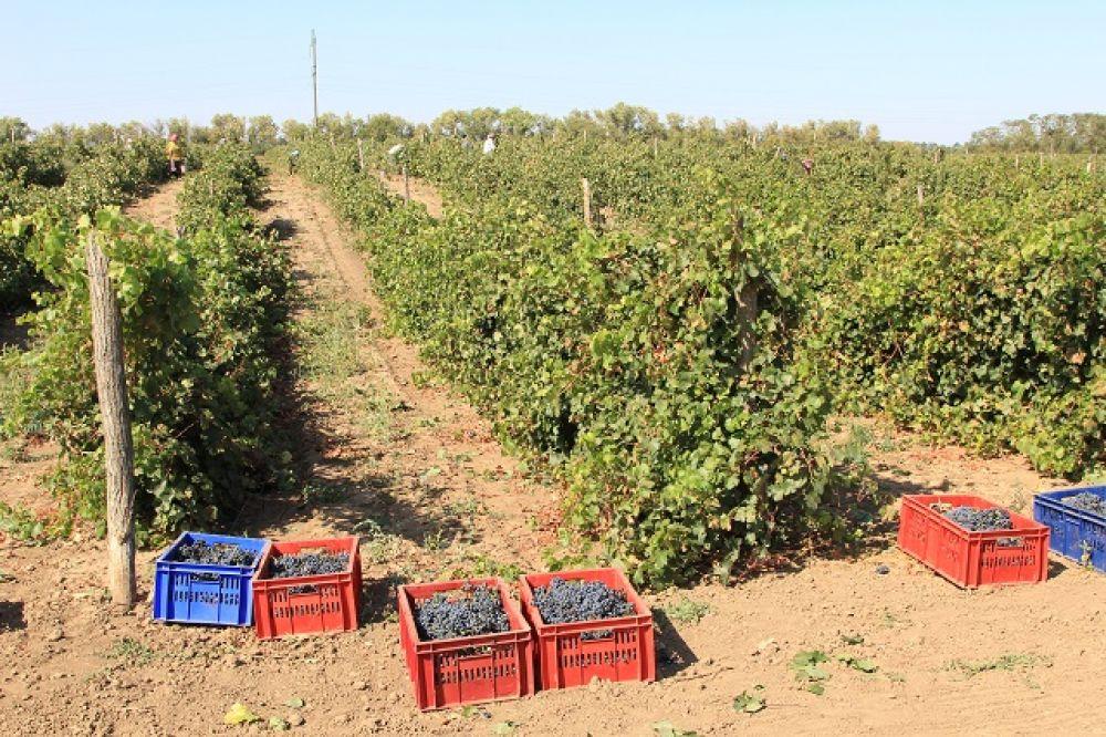 В Ростовской области культивируются классические автохтонные сорта винограда.