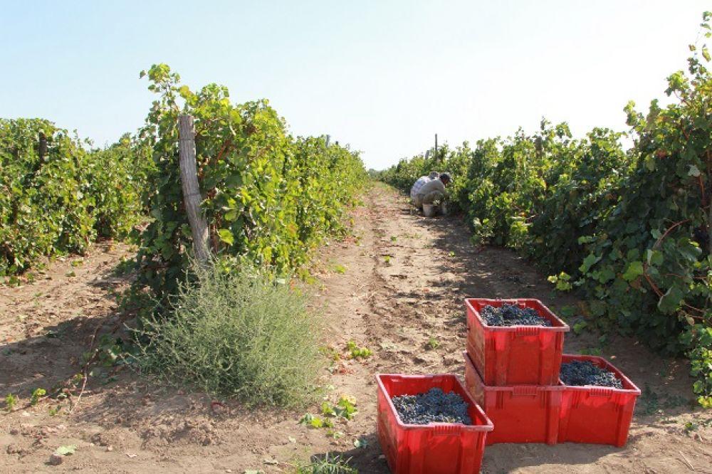 Уборочная площадь всего в области составляет порядка 2,1 тыс. га. На территории региона выращиванием винограда занимается 17 сельхозорганизаций, КФХ и ИП. Для сравнения, в соседнем Краснодарском крае таких предприятий - более 80.