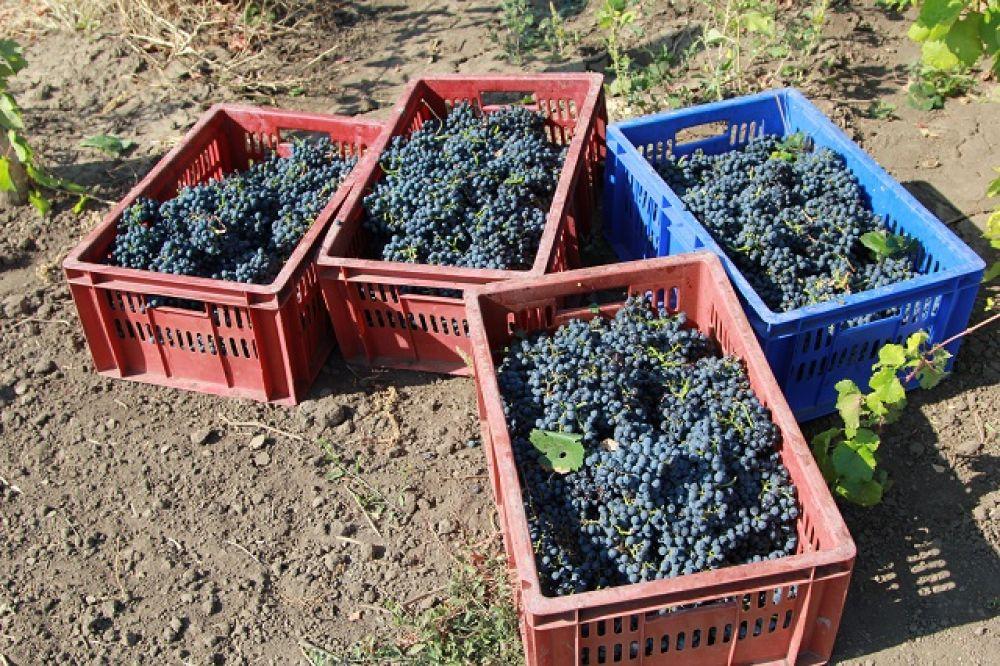 Для поддержки и развития отрасли создан территориальный кластер «Долина Дона», объединяющий предприятия и организации виноградарско-винодельческого сектора, производителей сельхозтехники, туристические организации.