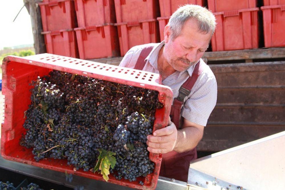 Аграрии Дона приступили к уборке винограда урожая 2019 года.