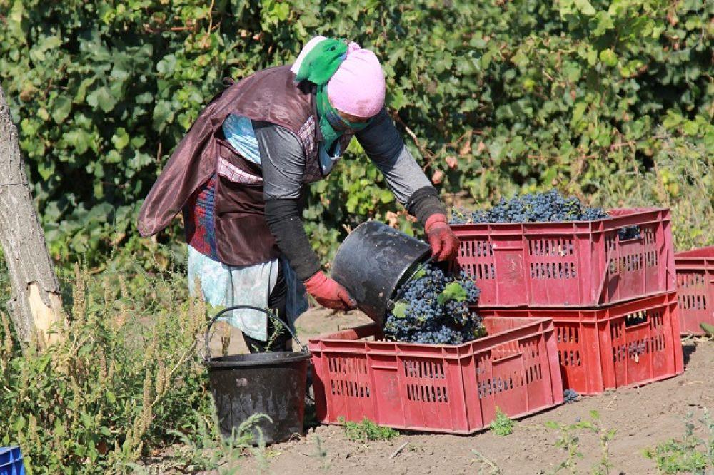 Весной текущего года виноградарскими предприятиями области заложено 30 га молодых виноградников технических сортов, что составляет 60% от целевого индикатора Госпрограммы на 2019 год. Осенью запланирована закладка еще порядка 30 га виноградных насаждений. По итогам года целевой показатель Госпрограммы по закладке виноградников будет выполнен в полном объеме.