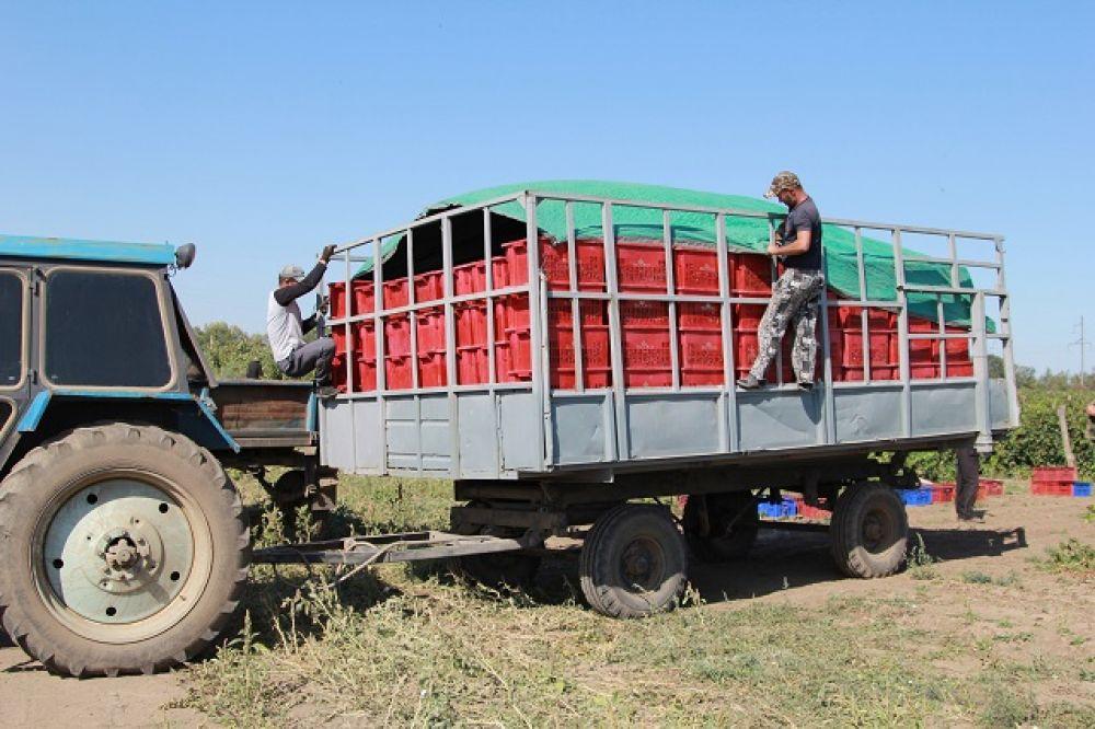 С поля урожай увозят на винодельню. В настоящее время производственную деятельность осуществляют 9 винодельческих предприятий.