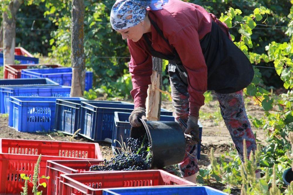 Ростовская область является одним из немногих регионов, имеющих собственную сырьевую базу для производства вина. При этом суровые климатические условия делают нашу область уникальной для развития сортового виноградарства и производства уникальных вин из аборигенных сортов винограда.