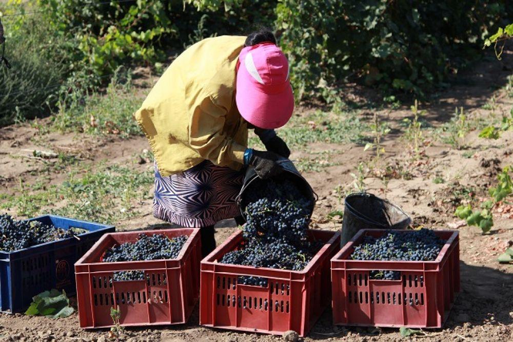 На Дону существовало не менее 40 автохтонных сортов, из которых делали вино. Сейчас их гораздо меньше, но они есть, это - «Красностоп Золотовский», «Сибирьковый», «Цимлянский черный» и другие. Международные эксперты считают, что будущее российского виноделия связано именно с автохтонными сортами винограда.
