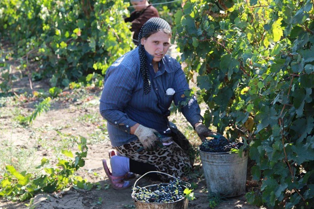 В текущем году на поддержку виноградарства предусмотрено 34,9 млн. рублей, что на 18 % больше уровня 2018 года.