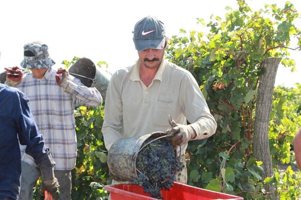 С женщинами работают и мужчины. Сборщик винограда за смену собирает от 200 до 400 кг ягоды.