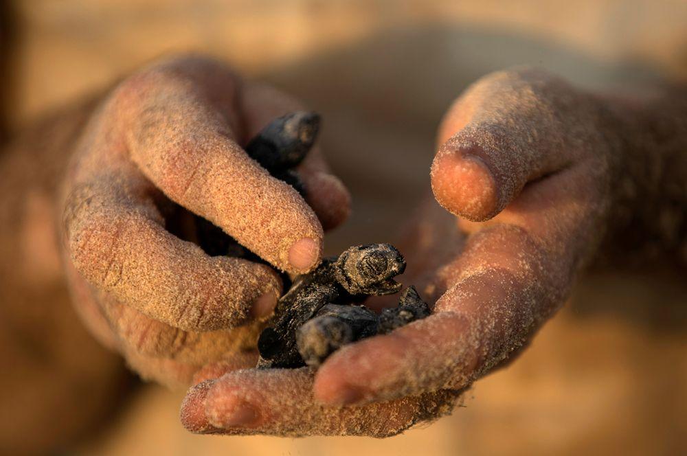 Ребенок держит в руках новорожденного детеныша морской черепахи, родившегося в защищенном месте в рамках программы центра изучения и помощи морским млекопитающим в мошаве Михморет, Израиль.