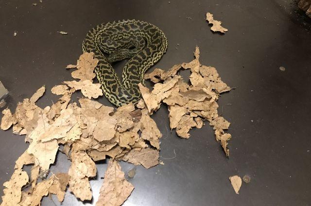 Пока змея привыкает к новому месту.
